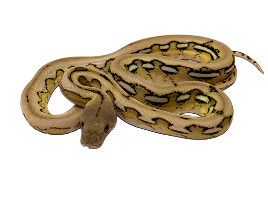 Picture of Male Platinum Tiger Reticulated Python