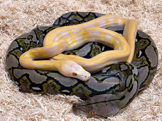 Picture of Sunfire Blonde Tiger Maker Pair