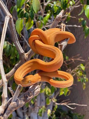 Picture of Orange Cook's Tree Boa